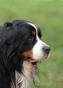 Veterinary Prints - Bernese Mountain Dog Print by Waldek Dabrowski