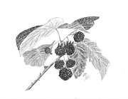 Raspberry Drawings - Berries by DebiJeen Pencils