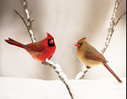 Cardinal In Snow Prints - Best Dressed Print by Martha Moore