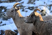 Big Horn Sheep Photos - Best Friends by Adam Jewell