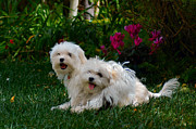 Maltese Dogs Photos - Best Friends by Lynn Bauer
