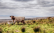 Graze Posters - Besty My Irish Cow Poster by Natasha Bishop