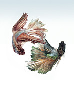 Satin Dress Prints - Betta Fight Print by Visarute Angkatavanich