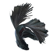 Betta Prints - Betta Fish Dance Print by Visarute Angkatavanich