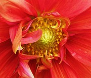 Dinner-plate Dahlia Prints - Better Late ... Print by Cathy Sosnowski