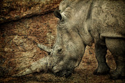 One Horned Rhino Photo Framed Prints - Between a Rock and a Hard Place Framed Print by Paul and Fe Photography Messenger