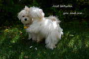 Maltese Dogs Photos - Between You and Me by Lynn Bauer