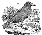 Bewick Photo Prints - Bewick: Raven Print by Granger