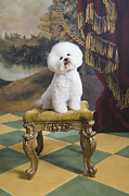 Tiled Framed Prints - Bichon Fise Sitting On Stool, Looking Up Framed Print by Rosanne Olson