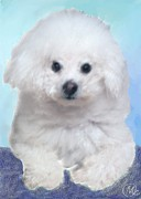 Mary M Collins - Bichon Frise