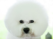Animal Head Posters - Bichon Frise Show Dog Poster by Lynn Koenig