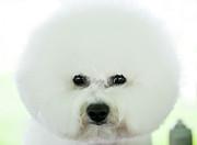 Bichon Frise Show Dog Print by Lynn Koenig