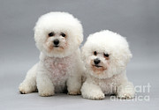 Dog Portraits Photos - Bichon Frises by Jane Burton