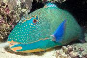 Crevice Prints - Bicolor Parrotfish Print by Dave Fleetham - Printscapes