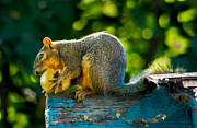 Eastern Fox Squirrel Metal Prints - Big Apple  Metal Print by Robert Bales
