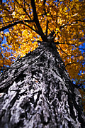 Bark Metal Prints - Big autumn tree in fall park Metal Print by Elena Elisseeva