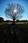 Lens Flare Posters - Big Bare Tree Against Sunset Poster by Ka_tate