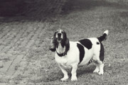 Basset Hound Photos - Big barker by Toni Hopper