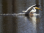 Pelican Landing Prints - Big Bird Skidding In Print by Thomas Young