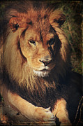 Lion Digital Art Metal Prints - Big Boy Metal Print by Laurie Search