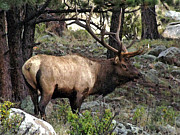 Bull Elk Digital Art Posters - Big Bull Poster by Brenda Hagenson