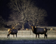 Boxley Valley Prints - Big Bulls at Sunrise in Boxley Valley Print by Michael Dougherty