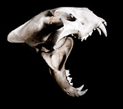 Biting Posters - Big Cat Skull Poster by Neal Grundy