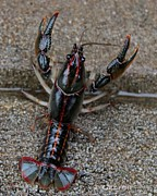 Pinchers Prints - Big Daddy Mudbug Print by Betty Northcutt