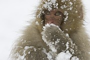 Macaques Prints - Big-eyed, snow-covered Print by Roy Toft