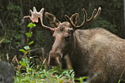Bull Moose Photos - Big Guy by Rick  Monyahan