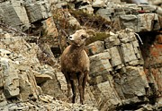 Sheep On Rocks Prints - Big Horn On The Rocks Print by Adam Jewell