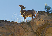 Big Horn Sheep Photos - Big Horn Sheep by David  Naman