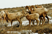 Elk Photographs Photo Prints - Big Horn Sheep Print by Greg Norrell