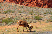 Day Trip Framed Prints - Big Horn Sheep in Valley of Fire Framed Print by Pierre Leclerc