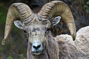 Bighorn Framed Prints - Big Horn Sheep Ram Framed Print by Rob Daugherty - RobsWildlife.com