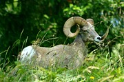 Wendy Emel - Big Horned Sheep