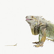 Digital Scale Posters - Big Iguana Looking At A Little Lizard Poster by Maarten Wouters