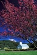 Manicured Prints - Big Island, Cherry Blossoms Print by Peter French - Printscapes