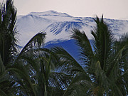 Mauna Kea Photo Metal Prints - Big Island Palms and Snow Metal Print by Bette Phelan