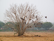 India Metal Prints - Big kite birds landing and taking off from a leafless tree Metal Print by Ashish Agarwal