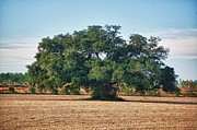 Barns Digital Art - Big Oak in Middle of Field by Michael Thomas