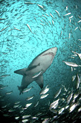 Shark Posters - Big Raggie Swims Through Baitfish Shoal Poster by Jean Tresfon