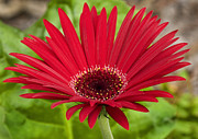 Zinnia Prints - Big Red Zinnia Print by Rich Franco