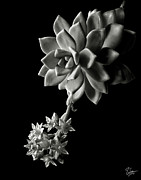 Flower Photos Framed Prints - Big Sedum in Black and White Framed Print by Endre Balogh