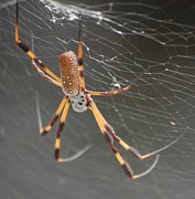 Insects And Crawley Things - Big Spider by David Lane