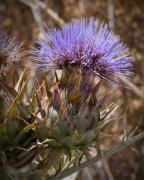 Thistles Photos - Big Thistle 2 by Kelley King
