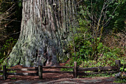 Big Tree Photos - Big Tree by Greg Nyquist