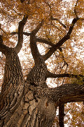 Autumn Prints Prints - Big Tree Print by James Bo Insogna
