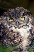 Nocturnal Animal Prints - Big Yellow Eyes Of The Screech Owl Print by Ralph Lee Hopkins