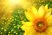 Background Prints - Big yellow sunflower  Print by Sandra Cunningham
